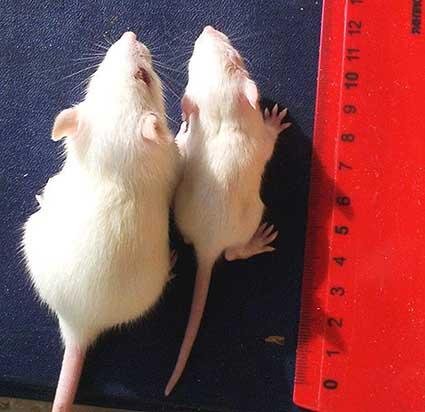 ratos-ogms